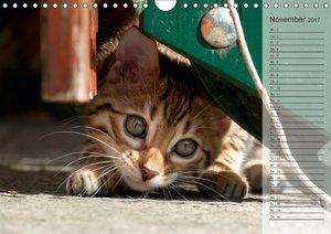 Die Bengalkatze. Ein fotografisches Portrait