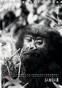 Berggorillas 2016 (Tischkalender 2016 DIN A5 hoch)