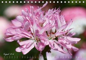Traum Pelargonien (Tischkalender 2016 DIN A5 quer)