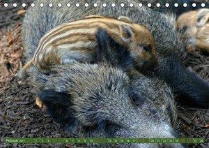 Wildschweins Kinderstube 2017 (Tischkalender 2017 DIN A5 quer)