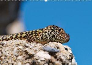 Eidechsen - Juwelen der Trockenmauern (Posterbuch DIN A3 quer)