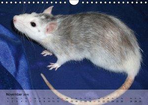 Ratten - Gelehrige Haustiere (Wandkalender 2016 DIN A4 quer)