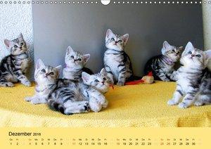 Britisch Kurzhaar Schmusekätzchen (Wandkalender 2016 DIN A3 quer