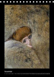 Affenbande 2014 Berberaffen (Tischkalender immerwährend DIN A5 h