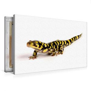 Premium Textil-Leinwand 75 cm x 50 cm quer Barren-Tigersalamande