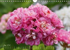 Traum Pelargonien (Wandkalender 2016 DIN A4 quer)