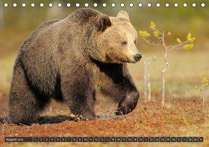 Magie des Augenblicks - Bären in nordischen Wäldern (Tischkalend