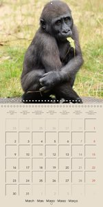 Gorillas . The Gentle Giants (Wall Calendar 2015 300 × 300 mm Sq