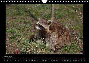 Raccoons / UK-Version (Wall Calendar 2015 DIN A4 Landscape)