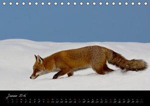 Rotfuchs - Impressionen (Tischkalender 2016 DIN A5 quer)