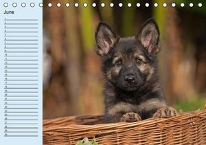 German Shepherd / Birthday Calendar (Table Calendar perpetual DI