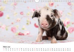 Niedliche Ferkel lovely piglets 2020