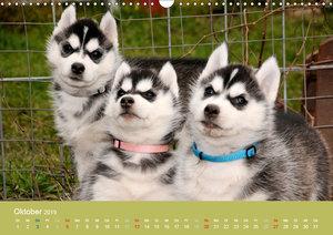 Husky Welpen (Wandkalender 2019 DIN A3 quer)