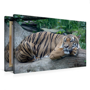 Premium Textil-Leinwand 75 cm x 50 cm quer Malaysischer Tiger