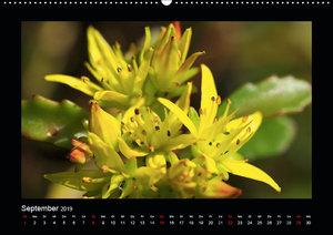 Faszination Pflanzenwelt - Sedum (Wandkalender 2019 DIN A2 quer)