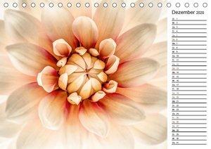 Blühende Dahlien (Tischkalender 2020 DIN A5 quer)