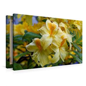 Premium Textil-Leinwand 90 cm x 60 cm quer Gelber Rhododendron