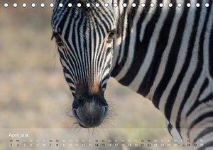 Zebras - Afrikas Wildpferde (Tischkalender 2018 DIN A5 quer)
