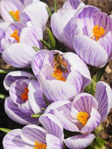 CALVENDO Puzzle Krokusse mit Bienenbesuch 1000 Teile Lege-Größe