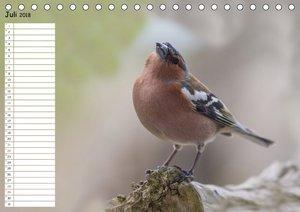 Gefiederte Schönheiten - Der Buchfink