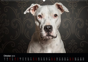 DOGO ARGENTINO (Wandkalender 2019 DIN A2 quer)