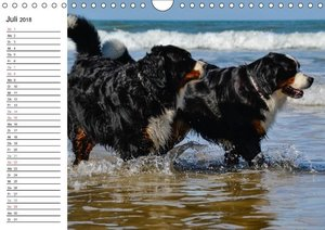 Augenblicke mit dem Berner Sennenhund