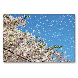 Premium Textil-Leinwand 90 cm x 60 cm quer Wind trägt Kirschblüt