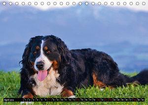 Augenblicke mit dem Berner Sennenhund (Tischkalender 2019 DIN A5