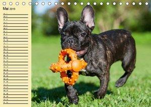 Französische Bulldogge - Clown auf 4 Pfoten (Tischkalender 2019