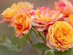 CALVENDO Puzzle Orange Rose 1000 Teile Lege-Größe 64 x 48 cm Fot