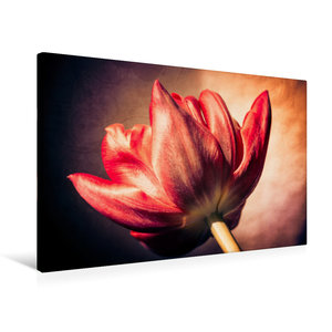 Premium Textil-Leinwand 75 cm x 50 cm quer Tulpenblüte, rot