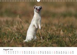 Hermelin - das wieselflinke Raubtier (Wandkalender 2020 DIN A3 q