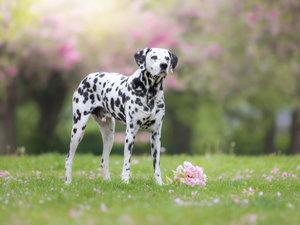 CALVENDO Puzzle Dalmatiner im Frühling 1000 Teile Lege-Größe 64