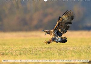 Majestätische Seeadler