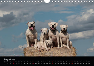 American Bulldog - stolz, loyal, einzigartig (Wandkalender 2019