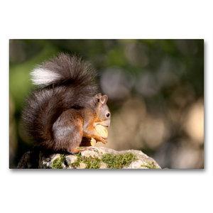 Premium Textil-Leinwand 90 cm x 60 cm quer Eichhörnchen knabbert