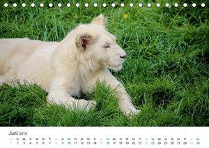Weiße Baby Löwen - Süß und verspielt (Tischkalender 2019 DIN A5