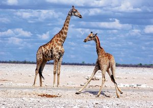 Namibia - Animals and Landscapes (Poster Book DIN A4 Landscape)