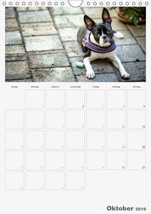 Boston Terrier der Hund 2019 (Wandkalender 2019 DIN A4 hoch)
