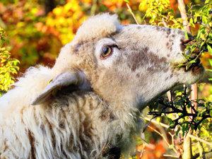 CALVENDO Puzzle Landschaftspflege nach Art der Schafe 1000 Teile