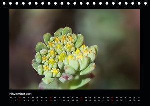 Faszination Pflanzenwelt - Sedum (Tischkalender 2019 DIN A5 quer