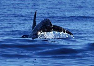 Wale und Delfine bei den Azoren