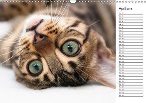 Bengal Kätzchen - Der Geburtstagskalender