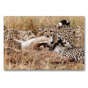 Premium Textil-Leinwand 90 cm x 60 cm quer Geparden mit Beute in