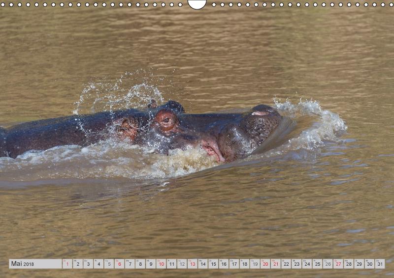 Emotionale Momente: Nilpferde hautnah - zum Schließen ins Bild klicken