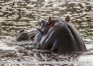 Emotionale Momente: Nilpferde hautnah
