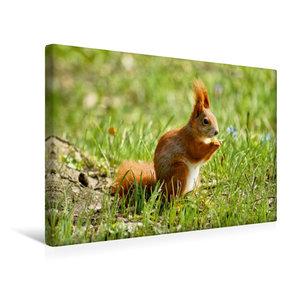 Premium Textil-Leinwand 45 cm x 30 cm quer Rotes Eichhörnchen au