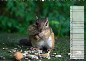 Streifenhörnchen - neugierige Nager (Wandkalender 2019 DIN A2 qu