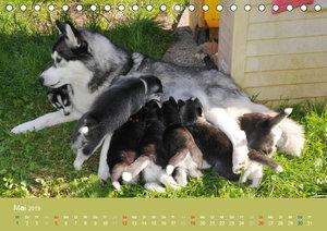 Husky Welpen (Tischkalender 2019 DIN A5 quer)