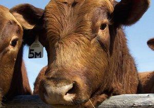 Rinder . Kuh & Bullen-Gesichter (Posterbuch DIN A4 quer)
